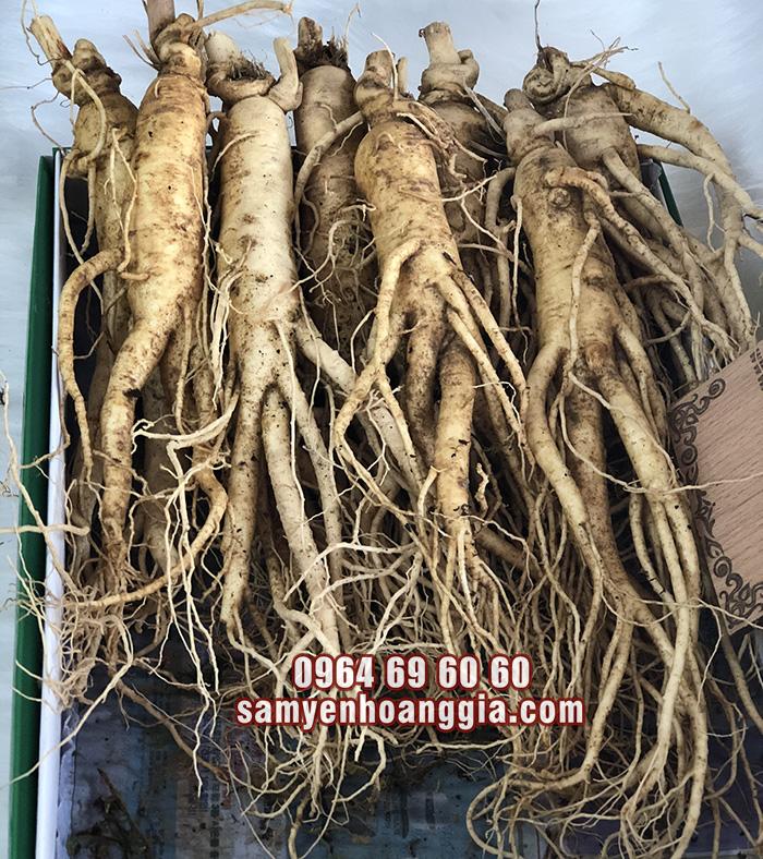 Sâm củ tươi Hàn Quốc 8 củ 1 kg